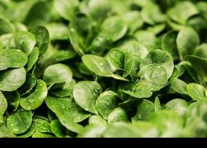 El consum de verdures de fulla verd pot reduir el risc de glaucoma